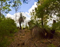 在Mt Tinbeerwah,阳光海岸,昆士兰,澳大利亚的草树 免版税库存照片
