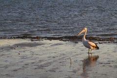 在mudflats的鹈鹕在下午光 免版税库存照片