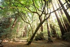 在Muir森林国家公园的红木 库存照片