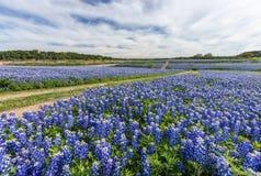 在Muleshoe弯,奥斯汀, TX的大得克萨斯矢车菊领域 免版税库存照片