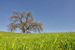 在Mulholland的小橡树 免版税库存照片