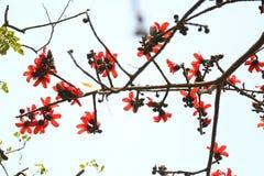 在Munshgonj,达卡,孟加拉国的带红色Shimul红色丝光木棉花开花的树 免版税图库摄影