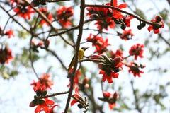 在Munshgonj,达卡,孟加拉国的带红色Shimul红色丝光木棉花开花的树 库存图片