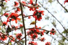 在Munshgonj,达卡,孟加拉国的带红色Shimul红色丝光木棉花开花的树 图库摄影