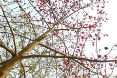 在Munshgonj,达卡,孟加拉国的带红色Shimul红色丝光木棉花开花的树 库存照片