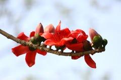 在Munshgonj,达卡,孟加拉国的带红色Shimul红色丝光木棉花树 免版税库存照片