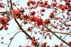 在Munshgonj,达卡,孟加拉国的带红色Shimul红色丝光木棉花树 库存照片