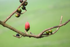 在Munshgonj,达卡,孟加拉国的带红色Shimul红色丝光木棉花树 库存图片