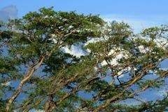 在Murchison Falls NP,乌干达,非洲的结构树 免版税图库摄影