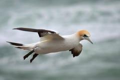 在Muriwai海岸的狂放的gannet飞行  库存图片