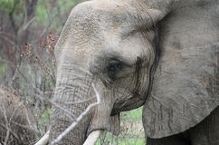 在musth的大象 库存图片