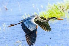 在Myakka的伟大蓝色的苍鹭的巢 免版税库存图片