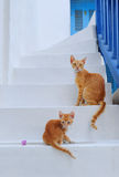 在mykonos海岛,基克拉泽斯,希腊的美丽的猫 免版税图库摄影