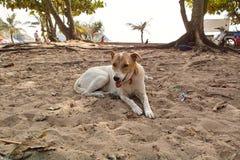 在Naihan海滩的卡罗来纳州狗 免版税库存图片
