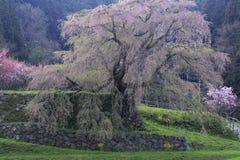 在Nar的Matabee樱桃树 库存图片