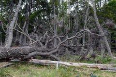 在Navarino海岛上的Magellanic森林在火地群岛群岛  库存照片