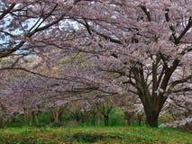 在Nebukawa镇的樱花 免版税库存图片