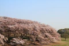 在Negishi Shinrin公园的樱花 免版税库存图片