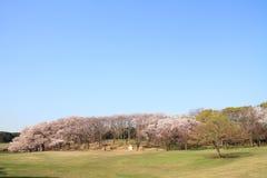 在Negishi Shinrin公园的樱花 图库摄影