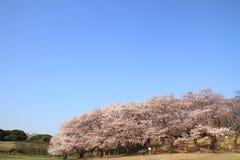 在Negishi Shinrin公园的樱花 免版税库存照片