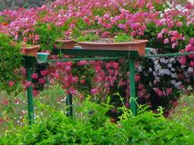 在neighbor& x27的花; s庭院 免版税库存照片