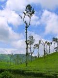 在Nelliyampathy小山,帕拉克卡德,喀拉拉,印度的茶庄园 免版税库存图片