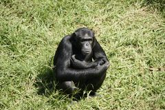 在Ngamba海岛上的Chimpansee 库存图片