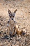 在Ngorongoro火山口的一头狐狼 库存图片