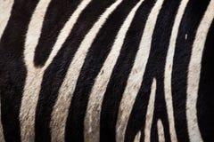 在Ngorongoro火山口的斑马皮肤 免版税库存照片