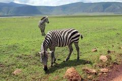 在Ngorongoro火山口的斑马 库存图片