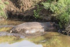 在Ngorongoro火山口的河马 免版税库存图片