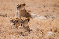 在Ngorongoro火山口的狮子 免版税库存图片
