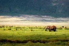 在Ngorongoro火山口的非洲大象在山背景中  图库摄影