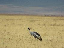 在Ngorongoro火山口的非洲人般的灰色被加冠的起重机 库存照片