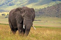 在Ngorongoro火山口的非洲大象 库存图片