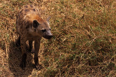 在Ngorongoro火山口的鬣狗 免版税库存照片