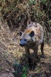 在Ngorongoro火山口的鬣狗 图库摄影