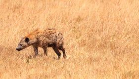 在Ngorongoro火山口的鬣狗 库存照片