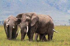 在Ngorongoro里面火山口的两头老大象  坦桑尼亚,非洲 免版税库存图片