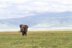 在Ngorongoro里面火山口的孤独的巨大的大象  坦桑尼亚,非洲 库存图片