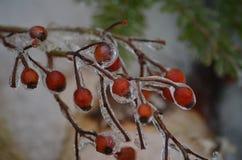 在NH的冷冻莓果在冬时 库存图片