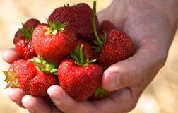 在NH的草莓在6月,新鲜! 免版税图库摄影
