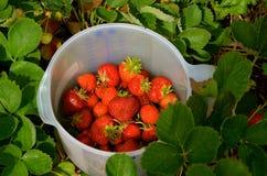在NH的草莓在6月,新鲜! 库存图片