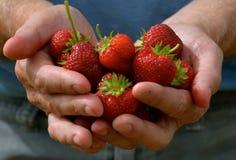 在NH的草莓在6月,新鲜! 免版税库存图片