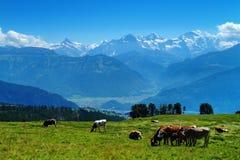 在Niederhorn山 免版税库存图片