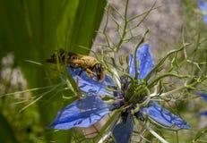 在Nigella damascena的花的黄蜂 免版税库存图片