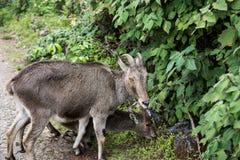 在Nilgiri小山的有蹄类动物 免版税库存图片