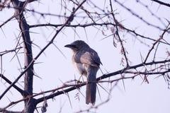 在nokila别针里面的鸟树 库存图片