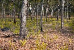 在Nourlangie,卡卡杜国家公园,澳大利亚的被漂白的树 免版税库存图片