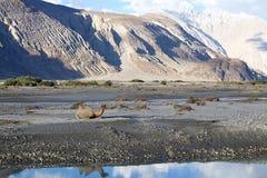 在Nubra谷的双峰驼骆驼属bactrianus,拉达克,印度 库存图片
